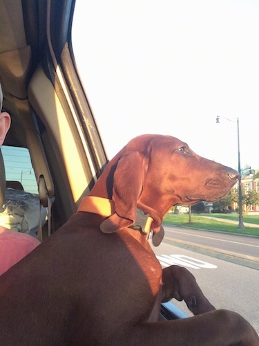 A Redbone Coonhound dog sitting across the lap of a person riding in a car with its head out the window and the sun shining on its. The dog has a long pointy muzzle.