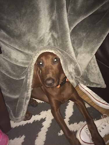 A Redbone Coonhound puppy is laying on a gray and white rug with its paws across a white sneaker and there is a gray blanket covering its head.