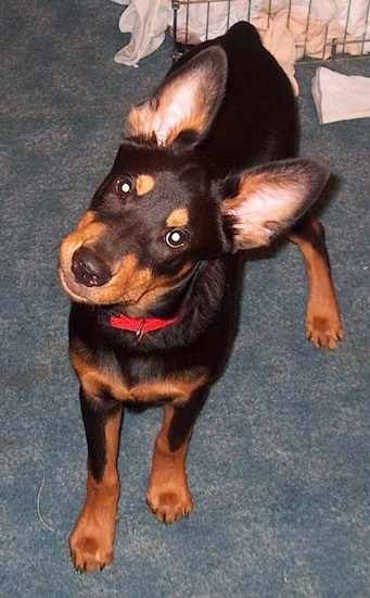 Close up - A black with brown Shepweiler dog is wearing a bright red collar standing on a carpet, it is looking up and its head is tilted to the left. It has very large perk ears.