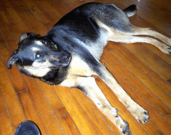 A large black with tan Shepweiler dog laying on its right side on a hardwood floor looking up.