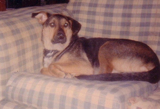 Side view - A large black with brown Shepweiler dog is laying across the back of a blue and tan plaid sofa looking forward.