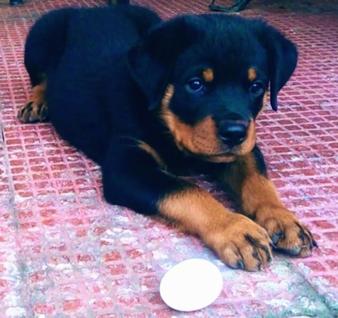 Front side view - A small black and tan Rottweiler is laying on a brick surface and there is a white hard boiled egg in front of it. Its front paw is about the same size as the egg.