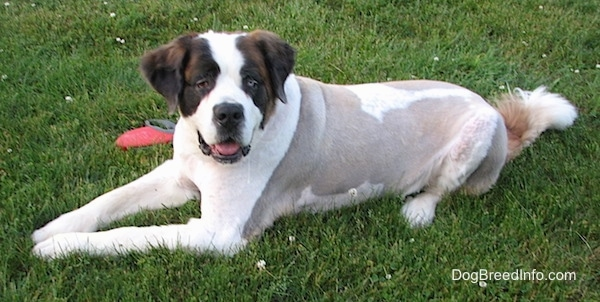 The front left side of a white with brown shaved Saint Dane that is laying across a field. It is looking up and its mouth is open. It has longer hair on its head, ears and tail, but its body is shaved to the skin.