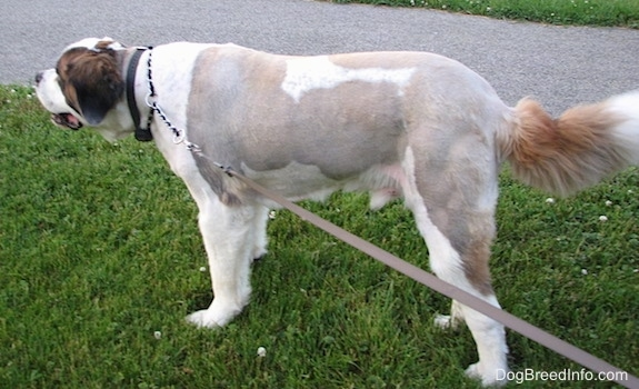 The left side of a shaved, white with brown and black Saint Dane is standing in grass and it is looking to the left. Its mouth is open. It has longer hair on its head and tail and its body is shaved short to the skin.