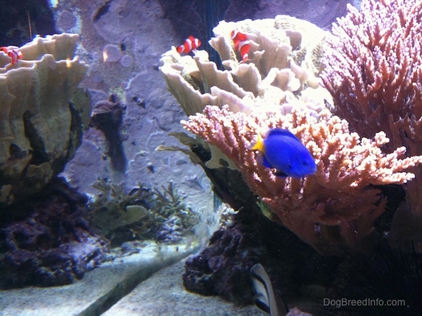 A blue tang fish and three orange, white and black striped clownfish are swimming around an anemone