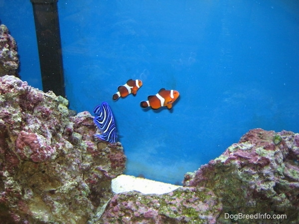 Two clownfish are swimming to a back glass pane. There is a blueface angelfish swimming over a rock