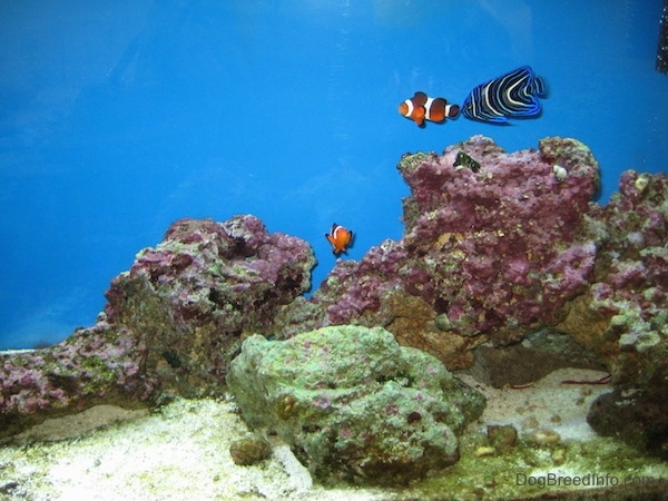 Two clownfish are swimming around pink and green coral with a blueface angelfish