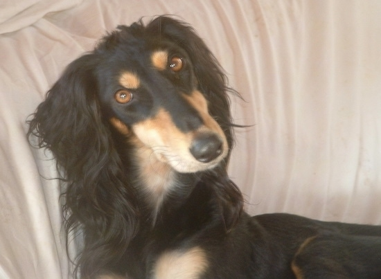 Saluki Dog Breed Information And Pictures