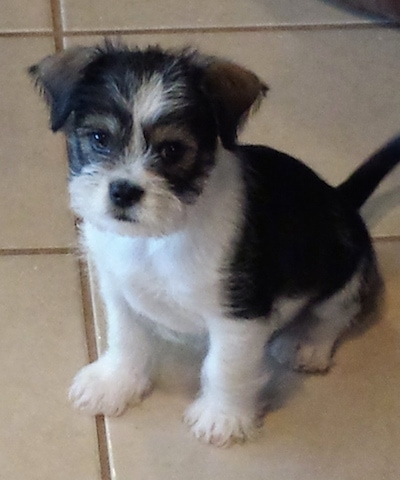 Front side view - a black and white Schnekingese puppy is sitting on a tan tiled floor looking forward. The dog has longer hair on its face and paws