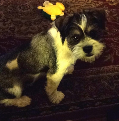 The right side of a black and white Schnekingese puppy is sitting on a rug and it is looking forward. There is a yellow toy behind it. It has wiry looking hair on its face.