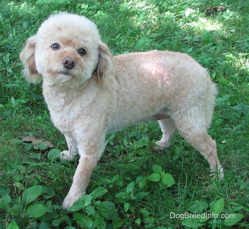 The left side of a tan Schnoodle that is standing across a field. Its head is tilted to the right, its looking up and forward. The dog has longer fuzzy hair on its head like a cotton ball and long drop ears with longer hair on them. It has a brown nose.