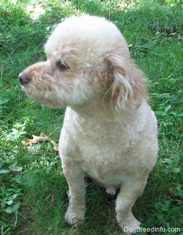 A soft looking tan Schnoodle is sitting in grass and it is looking to the left. It has longer hair on its ears.