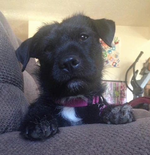 Close up front view - A wiry looking black with white Shar Tzu dog is laying at the end of a brown couch looking forward with its head tilted to the left.