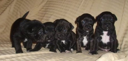 A litter of black with white Sharbo puppies that are sitting lined up in a row on a tan couch. The pups are all black with white on their chests.