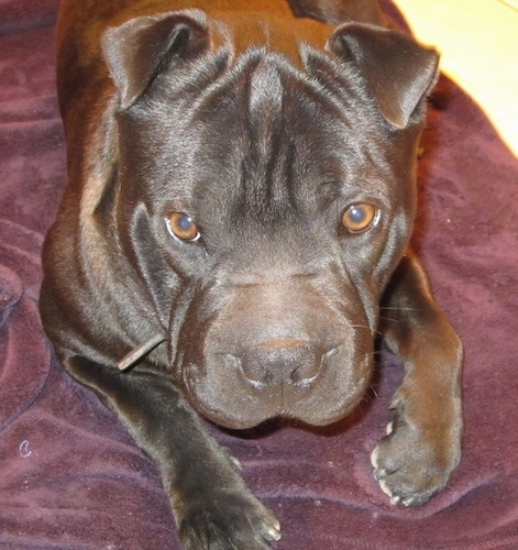 Close up front view - A shiny coated black Sharbo is laying out on a blanket and it is looking up. The dog has wrinkles on its big head.