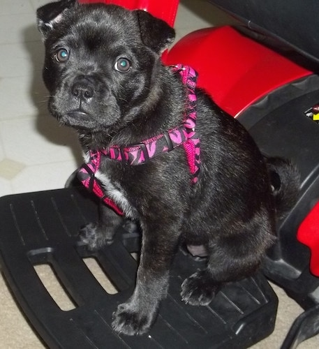 Side view - A black with white Sharbo puppy is wearing a hot pink leopard print harness sitting across a chair and it is looking forward. The dog is sitting on a black plastic thing that has a red back.