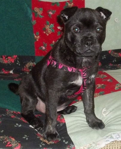 Front view - A black with white Sharbo puppy is sitting on a bed looking forward. It is wearing a pink and black harness. The pup has small ears that fold over to the front.
