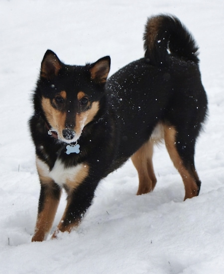 The front right side of a black, tan and white Sheltie Inu puppy that is standing in snow. It is looking forward, it is snowing and it has snow all over its face. The dog's tail is curled up over its back. It has small perk ears.