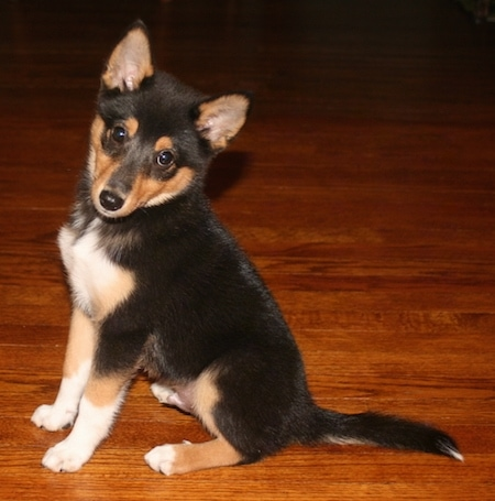 The left side of a black, tan and white Sheltie Inu puppy that is sitting on a hardwood floor looking forward and its head is tilted to the left. It has small perk ears.