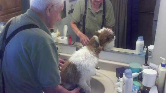 An older man in suspenders is washing a brown and white Shetland Sheepdog puppy in a sink.