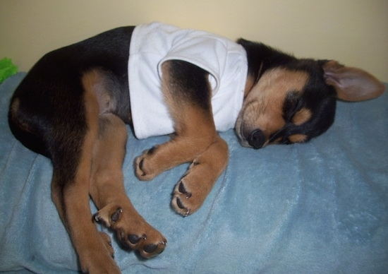 A black with tan Shepweiler puppy that is wearing a white shirt is sleeping on the back of a couch. Its ear is perked straight up.