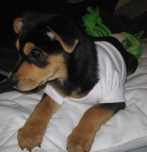 Close up front side view - A black with tan Shepweiler puppy is laying on a bed, it is wearing a white shirt and it is looking to the left. The dogs ears are folded down to its sides.
