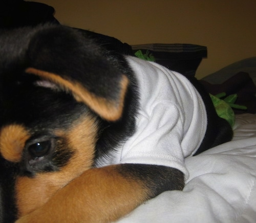 Close up - A black with tan Shepweiler puppy that is wearing a white shirt is laying down across a bed.