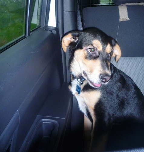 The left side of a black, tan and white Shepweiler puppy is sitting in the back passenger seat of a vehicle. It is looking to the right. Its mouth is open and tongue is slightly sticking out.