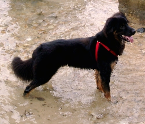 Right profile - A black, tan and white Shepweiler dog  wearing a red harness standing in a stream of water looking to the right. Its mouth is open and tongue is out.