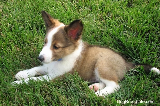 The left side of a small brown with white and black Shetland Sheepdog puppy that is laying in grass and it is looking to the left.
