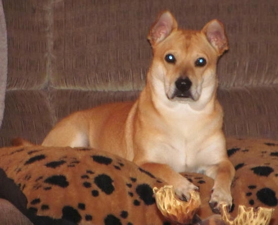 Front side view - A tan with white Shiba Inu/Shar Pei/Bassett Hound is laying on a brown and black paw print pillow on top of a brown couch.