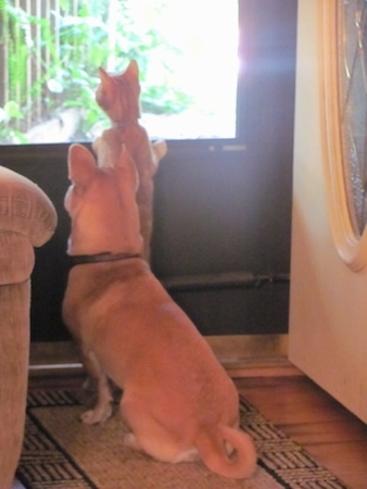 A tan with white Shiba Inu/Shar Pei/Bassett Hound mix is sitting in front of a door on a rug looking outside. There is an orange cat jumped up with its front paws on the glass of the door looking out, too.