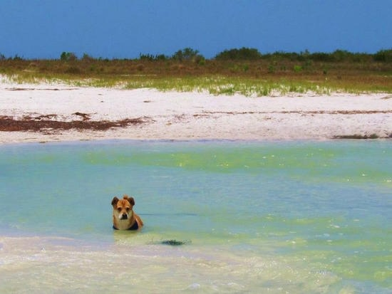 A tan with white Shiba Inu/Shar Pei/Bassett Hound mix is standing in a body of water in the background is a nice looking beach.