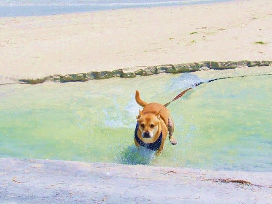 Action shot - A tan with white Shiba Inu/Shar Pei/Bassett Hound mix is running through water at a beach.