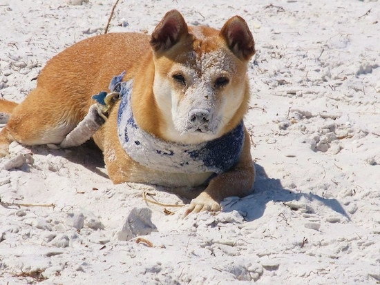 View from the front - A tan with white Shiba Inu/Shar Pei/Bassett Hound mix breed dog is laying outside on a beach, it is wearing a blue bandana and it has sand all over its face and body.