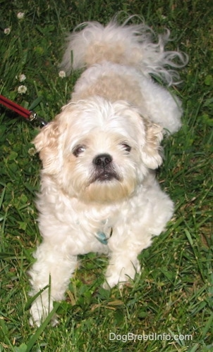 Close up front view - A white and tan Shih-Tzu is laying on a grass surface and it is looking up. The dog has a black nose and black lips.
