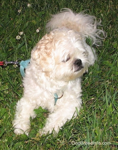 Close up front view - A wavy coated, white and tan Shih-Tzu is laying on a grass surface and it is looking to the right.