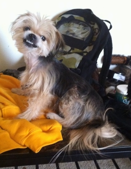 The left side of a tan and black Shorkie Tzu dog that is sitting on top of a desk, it is looking forward. Its head is tilted to the right and it looks like it is growling. It has long hair on its tail It has a black nose, black lips and dark round eyes.