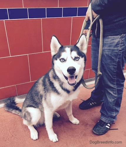 A black and white Siberian Husky with blue-eyes is sitting in front of a tiled wall, it is looking forward, its mouth is open and it looks like it is smiling.