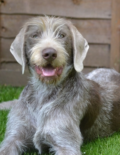 Close up front side view - A gray merle Slovakian Rough Haired Pointer dog laying in grass looking happy with its mouth open and tongue showing. There is a wooden building behind it. It has longer hair down its stop and on its snout and a brown nose.