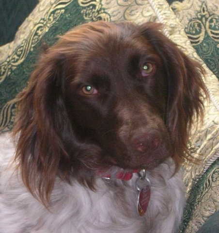 Close up head shot - A brown and white Small Munsterlander is sitting across a couch, it is looking forward and its head is slightly tilted to the left. It has longer hair on its ears.
