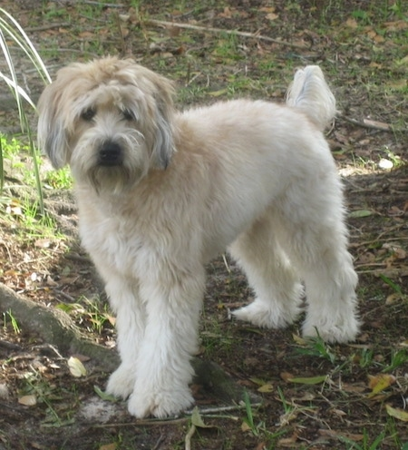 The front left side of a thick coated, soft looking, tan and brown Soft Coated Wheaten Terrier is standing across a dirt and grass surface. It is looking forward.