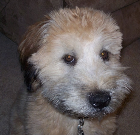Close up - A thick coated, brown with black Soft Coated Wheaten Terrier dog is sitting on a carpet, its head is turned to the right and it is looking to the left.