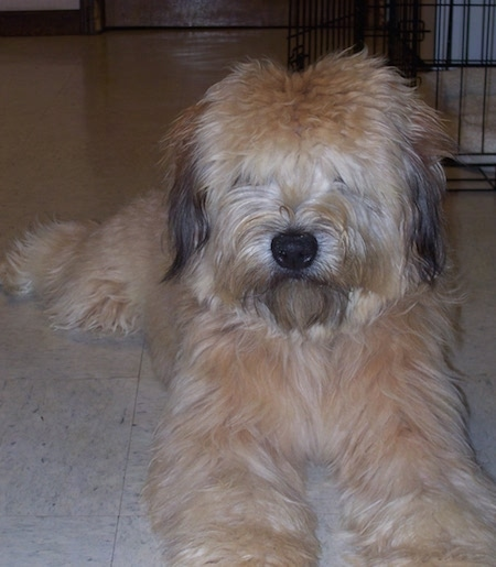 Close up - A brown with black Soft Coated Wheaten Terrier is laying on a tiled floor and it is looking forward. There is a small cage behind it. It has thick hair that is covering up its eyes.