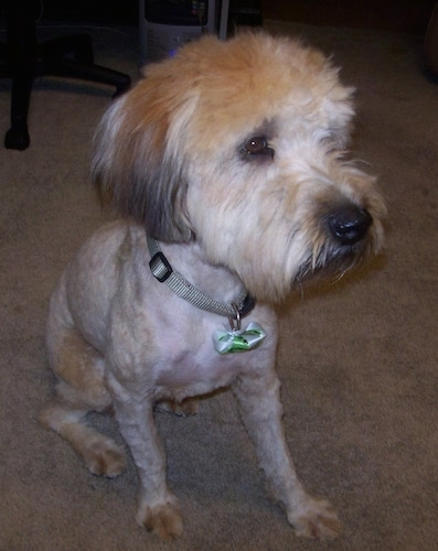 Close up - A  freshly groomed shaved brown with black Soft Coated Wheaten Terrier is sitting on a carpet and it is looking to the right. It has longer hair on its head.