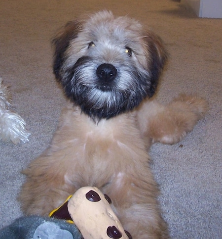 Close up front view - A brown with black Soft Coated Wheaten Terrier is laying out on a carpet. It is looking forward and there is a toy in front of it.