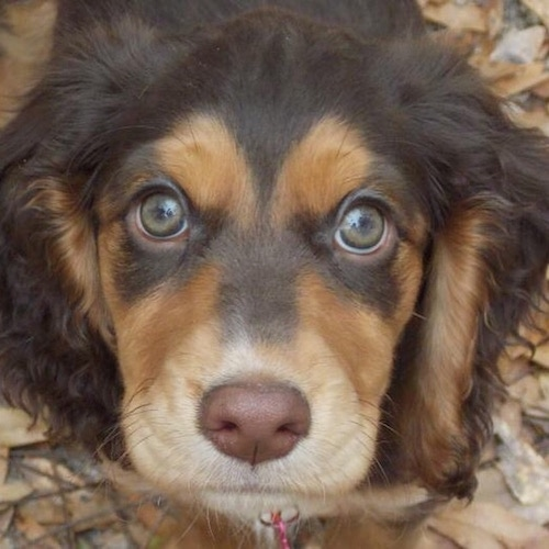 Close up head shot - A brown and black with white Sprocker Spaniel is standing on a pile of leaves and it is looking up. It has wide round hazel eyes and a brown nose.