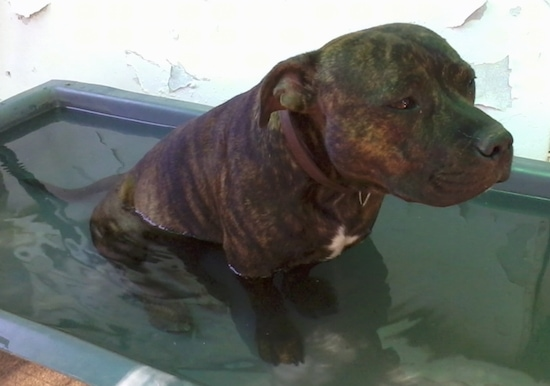 The front right side of a brindlw English Staffordshire Bull Terrier that is sitting in a tub of water and it is looking to the right.