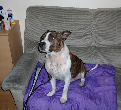 Thefront left side of a wide brown and white Staffordshire Bull Terrier dog sitting across a gray couch on top of a purple blanket.