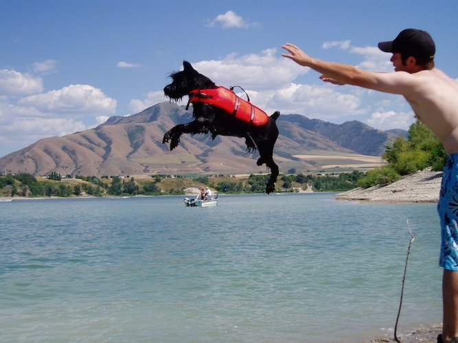 Spike the Black Schnauzer is wearing an orange life vest and being thrown into a body of water by a man